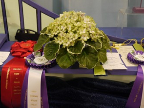 Frozen in Time, 2nd Best African Violet in Show, Best Plant Grown by a Canadian Exhibitor