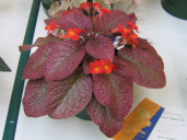 Episcia 'Temptation'